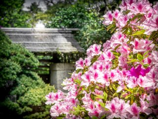 Japanese azaleas generally bloom from around mid-April to May, making a great addition to the post-cherry blossom season