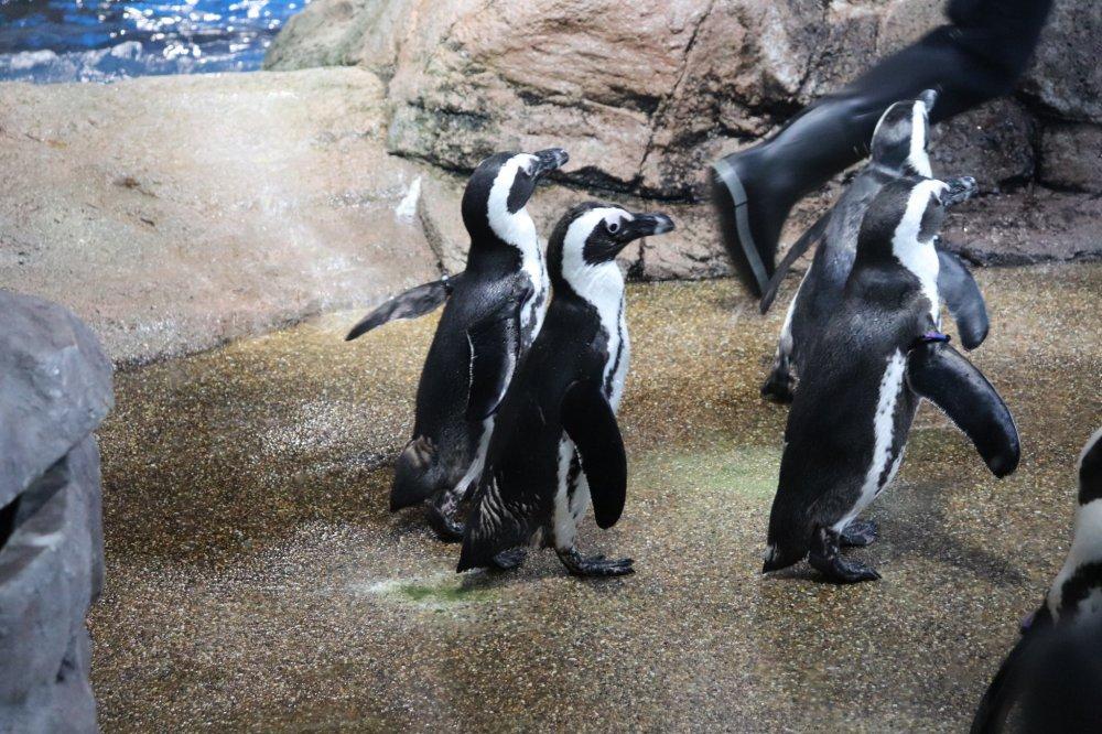 ケープペンギンが見られる