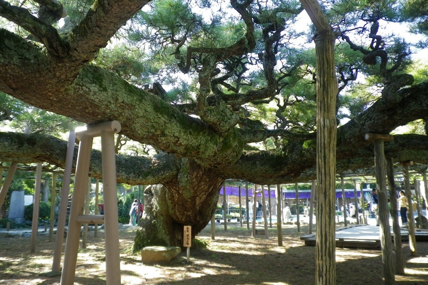 The Yogo Pine, Edogawa Ward
