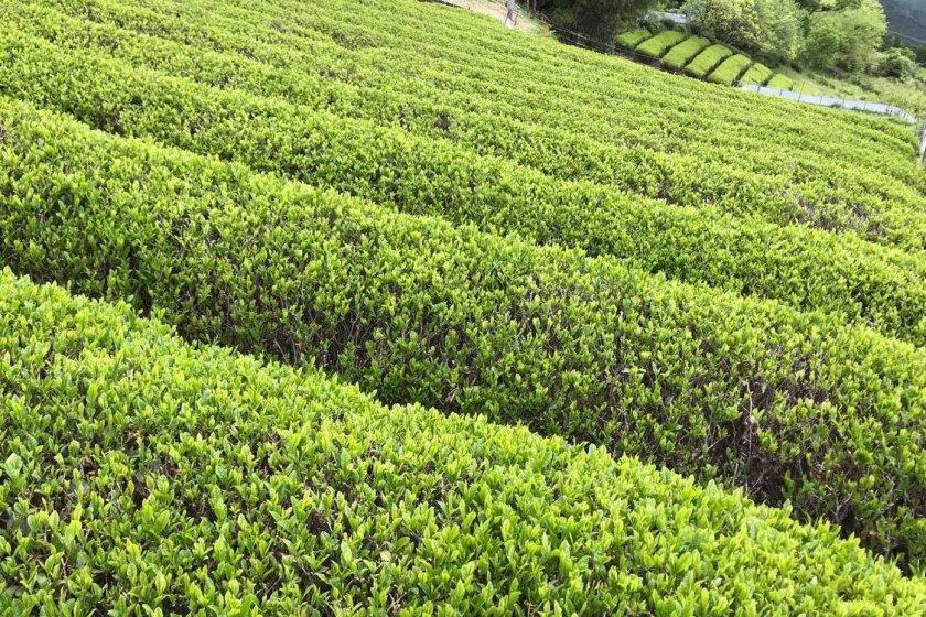 Row upon row of tea bushes