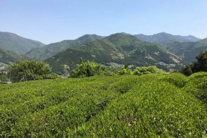 Tea bushes against the backdrop of the Kumano mountains
