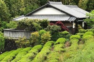 My neighbors tea plantation