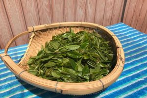 Fresh tea leaves, picked today