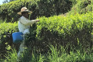 Picking tea leaves by hand