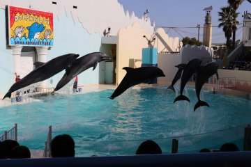 Six dolphins jumping at the same time