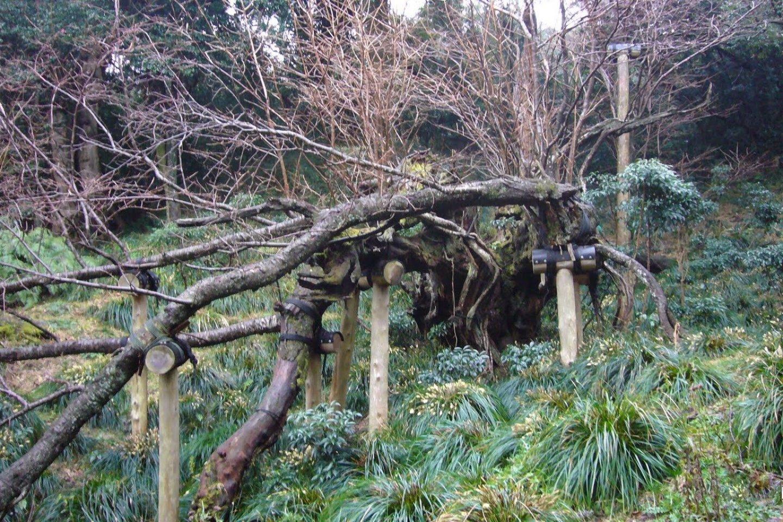 The cherry tree stump of Oshima Island