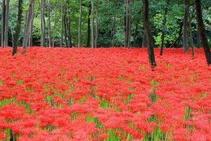 Stunning red spider lilies at Kinakuchida Park