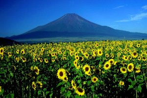 Sunflowers: a summertime favorite!