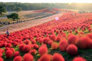 Red kochia at Hitachi Seaside Park