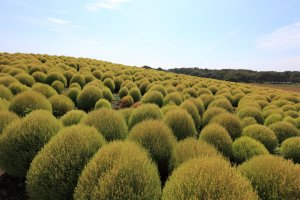Fuzzy green kochia bushes before they turn their trademark red