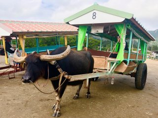 Our buffalo cart to go to the Yubu Island