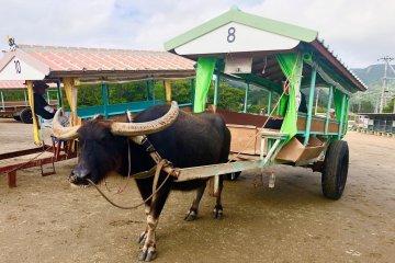 我們搭乘前往由布島的水牛車