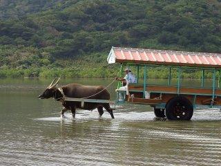 Một trong những trải nghiệm thú vị ở Nhật Bản: Đi xe trâu nước ở Ishigaki