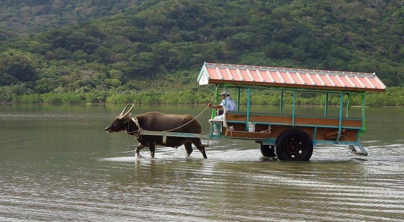Una experiencia única en Japón: Paseo en Carreta de Búfalo sobre Agua en Ishigaki