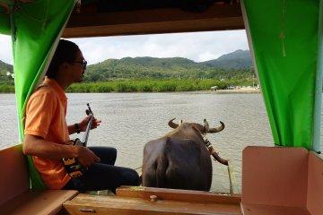 我們從由布島搭乘水牛車準備前往西表島