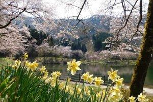 Osaki Dam Park is a popular local springtime spot