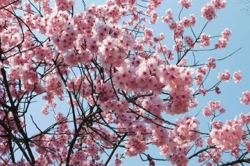 Where to Find Cherry Blossoms in Urasa