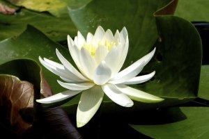 White lotus at Manpuku-ji Temple