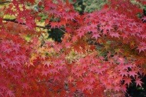 满眼的红叶