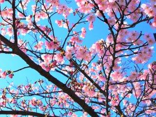 美しい河津桜