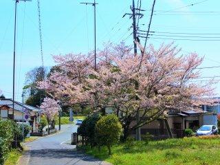 参道に咲く桜
