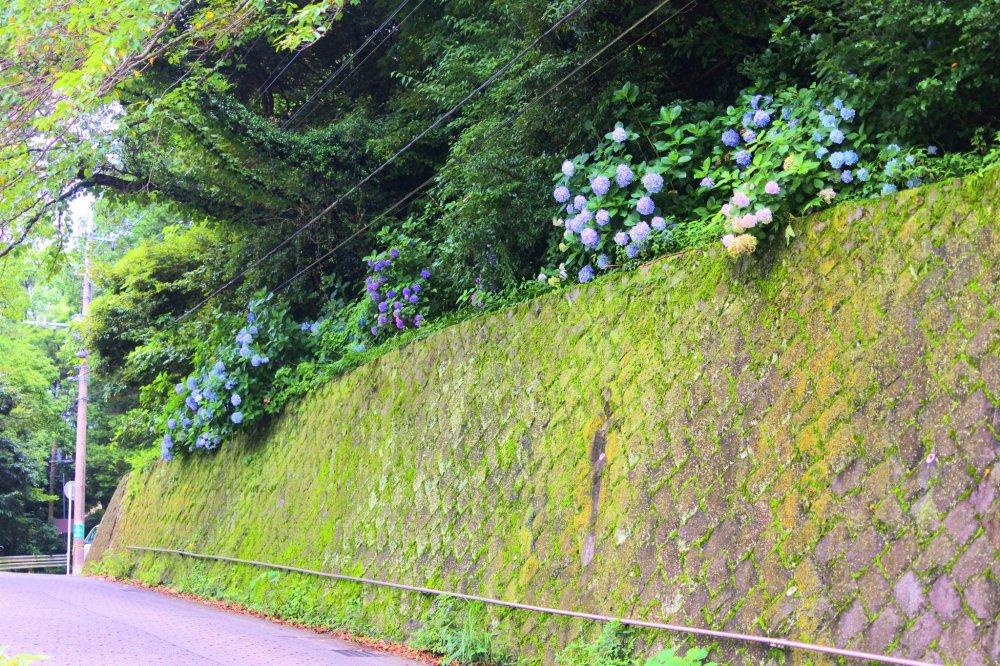 あじさいが咲く道路