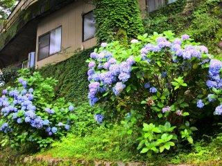 箱根湯本に咲くあじさい