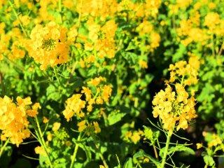 可愛らしい菜の花