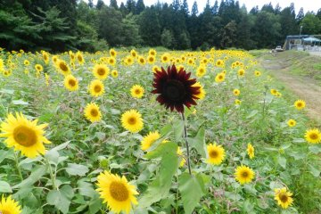 Sunflowers in Haguro