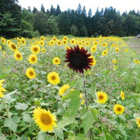 Hoa hướng dương Haguro