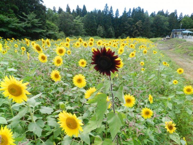 A single dark red sunflower.