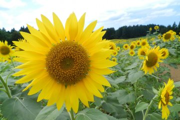 Sunny days in Tsuruoka.