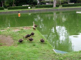 Ducks waddle around the fishing pond