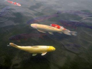 Koi fish in the pond in Heisei Garden