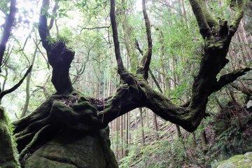Virgin Forest in Hyakkenzan Gorge