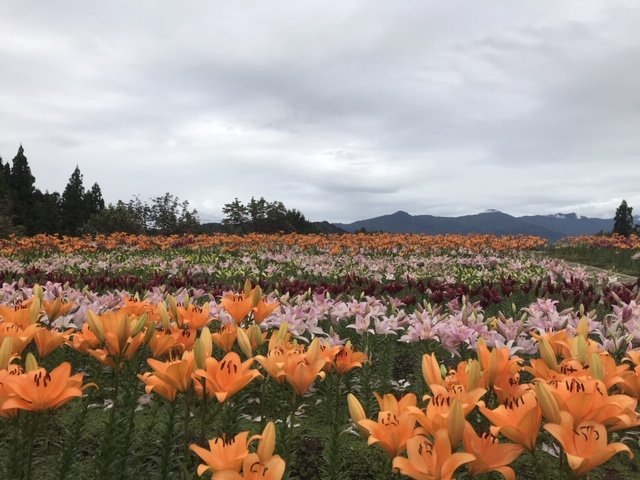Colorful lilies in bloom