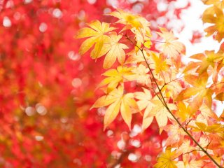 Maple leaves are turning colors into red as well