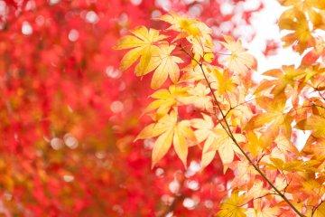 Кленовые листья понемногу меняют цвет на красный