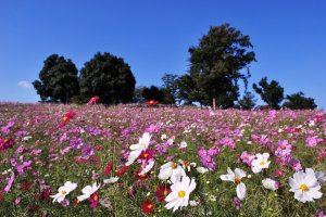 Showa Kinen Park in Tachikawa is a delight in autumn