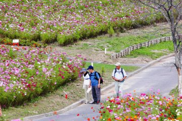 Hokkaido's Taiyo-no-Oka Engaru Park has a range of different cosmos varieties planted