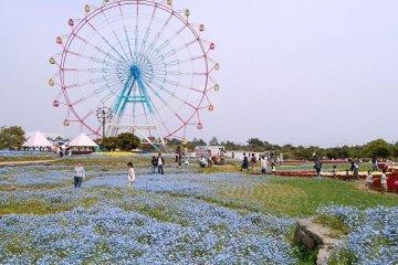 Nemophila, or baby blue eyes, at the Uminonakamichi Flower Park