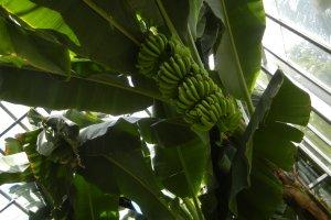 バナナワニ園の名前通り、もちろんバナナもあります。温室の中にはたくさんのバナナがたわわに実っていました。まだ緑色でしたが、熟して食べられる日が来るのが待ち遠しいですね。こちらのバナナは収穫期に行くと、2階のフルーツパーラーで食べることも出来ます。