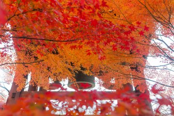 Autumn Leaves at Shin-nyo-do