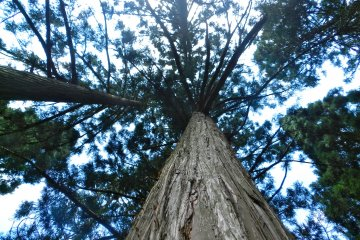 Huge cedar trees fill the forests that surround Ginzan.