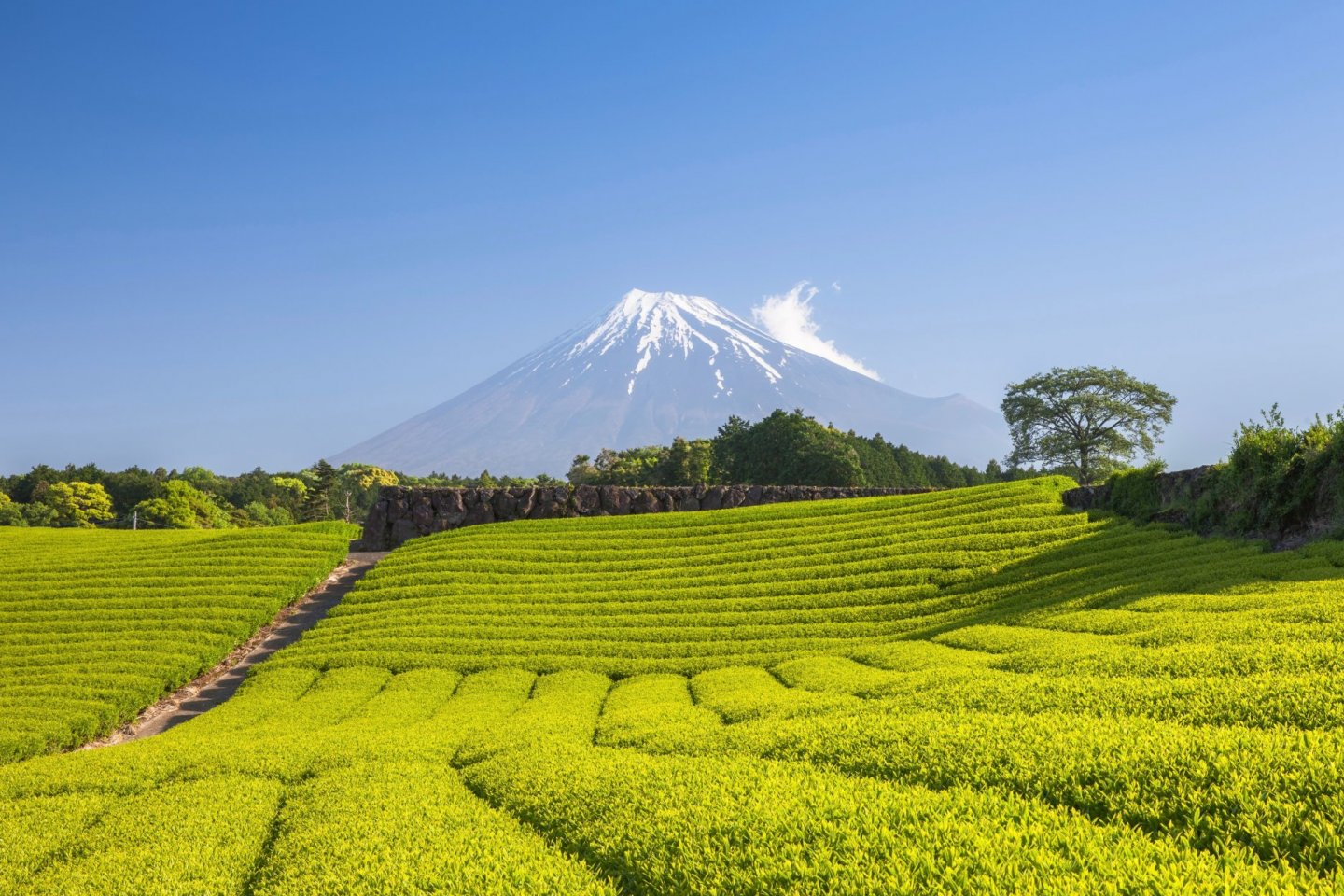 Rolling tea fields overlooking Mount Fuji