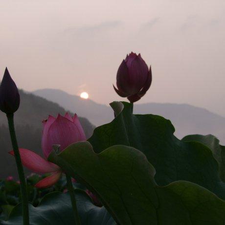 Lotus Heaven in Fukui