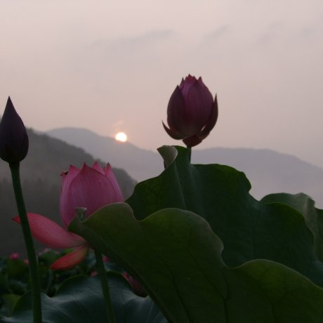 Surga Teratai di Fukui