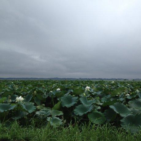 The Lotus Ponds of Kasumigaura
