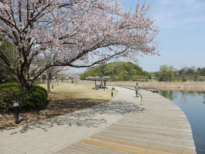 Cherry blossoms on the west side of Sendabori Pond