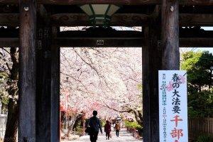Cherry blossom season at Hokyoke-ji, Ichikawa City